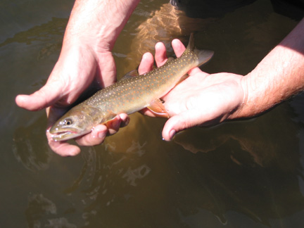 Bull Trout For Web Page Fish and Aquatics Page
